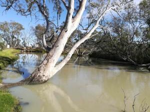 Majestic River Gums